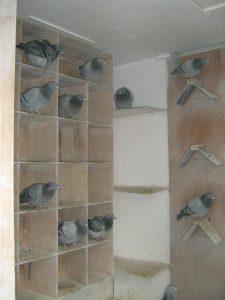 duiven-in-het-hok